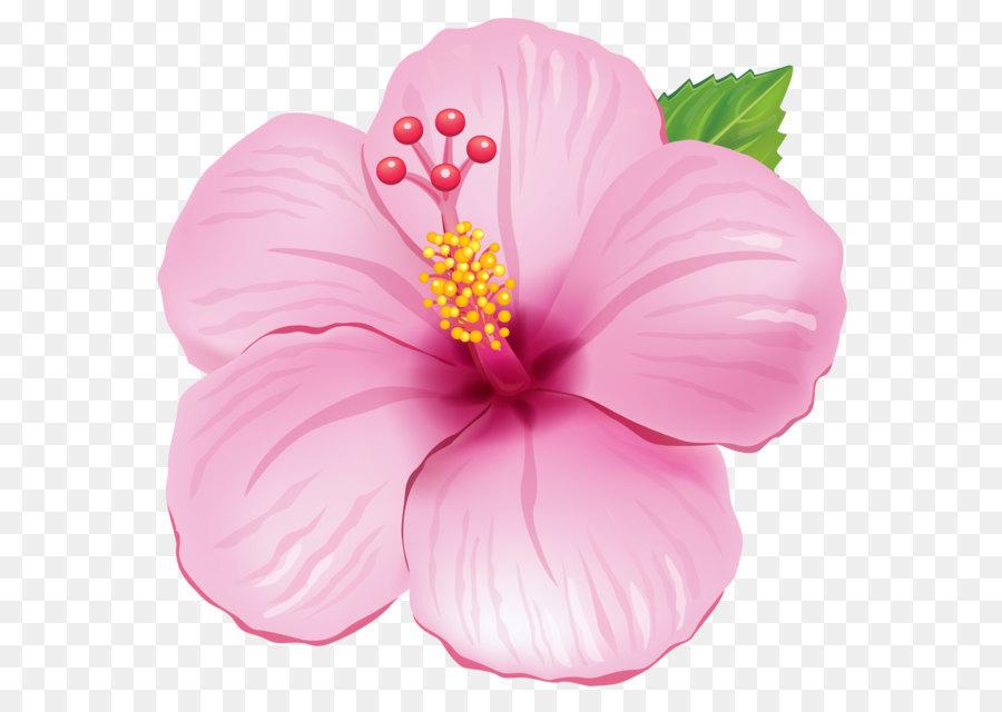 Bunga Kembang Sepatu Warna Gambar Png