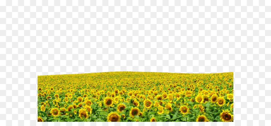 Download 4000 Wallpaper Bunga Matahari Hd Gratis Terbaru