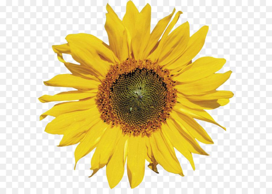 Umum Bunga Matahari Vektor Bunga Gambar Png