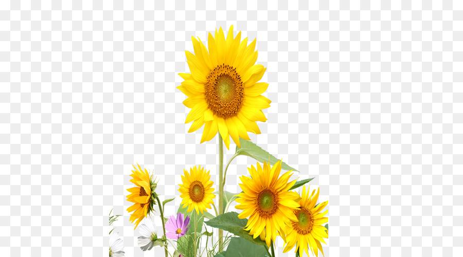 Umum Bunga Matahari Bunga Kuning Gambar Png