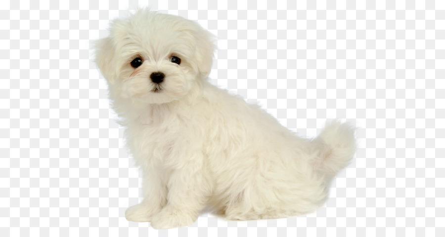 Anjing Maltese Papillon Anjing Pudel Gambar Png