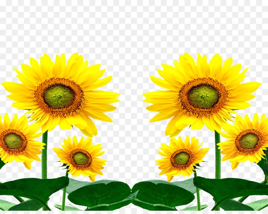 Umum Bunga Matahari Kartun Bunga Gambar Png