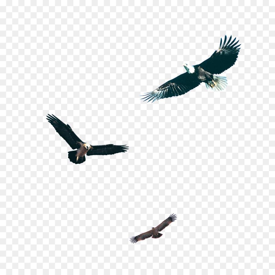 440+ Download Gambar Burung Elang Hitam HD Terbaru