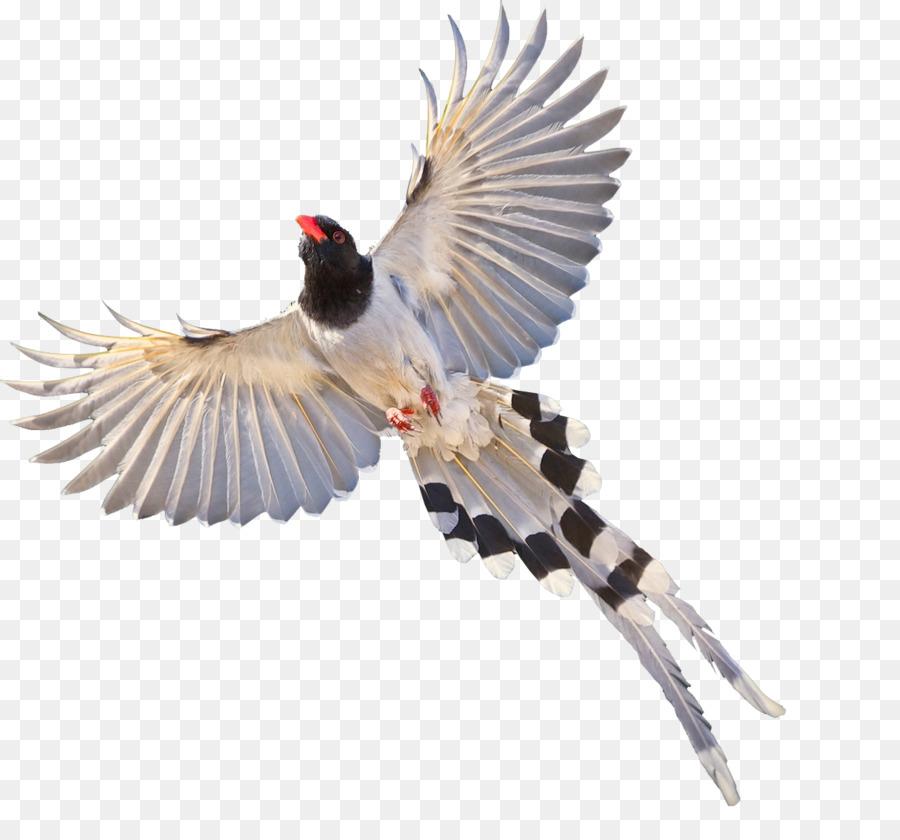 Eurasia Murai Burung Murai Gambar Png