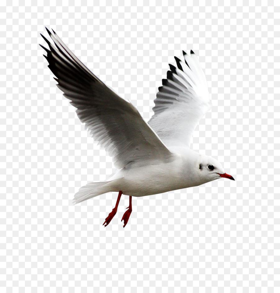 Burung Camar Eropa Herring Gull Gambar Png