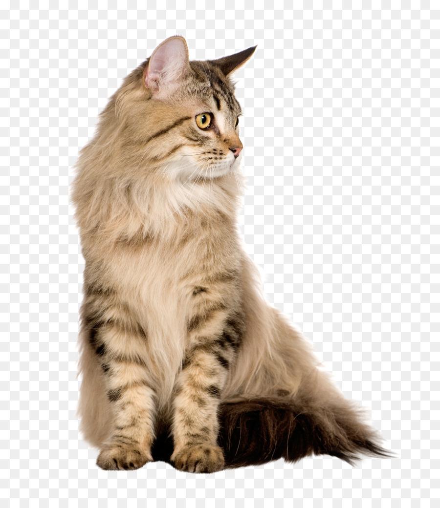 Kucing Persia Kucing Siberia Kucing Hutan Norwegia Gambar Png