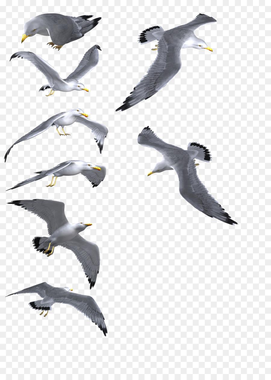 Camar Burung Umum Camar Gambar Png