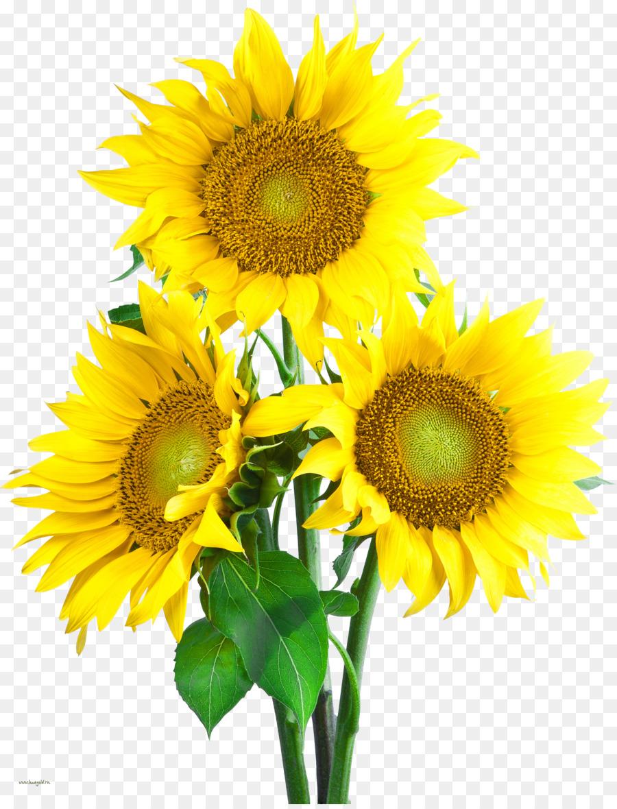 Umum Bunga Matahari Ikon Komputer Desktop Wallpaper Gambar Png