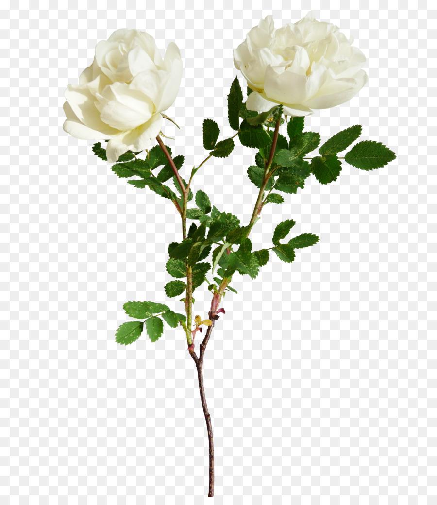 kisspng flower clip art white roses 5ab564449d13f2.5855715615218371246434