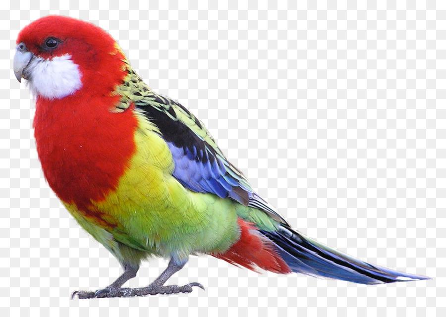 Burung Rosella Timur Burung Beo Gambar Png