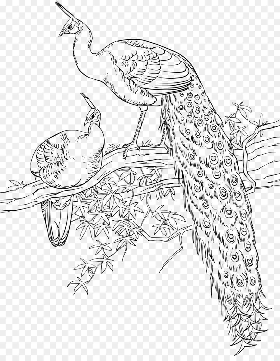 Burung Merak Buku Mewarnai Gambar Png