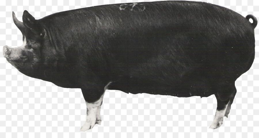 93 Gambar Babi Hampshire