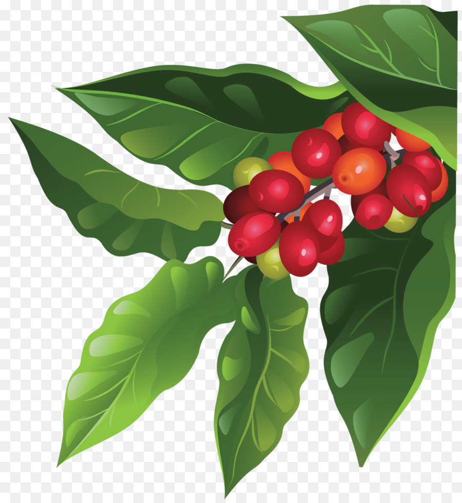kopi biji kopi berry gambar png kopi biji kopi berry gambar png