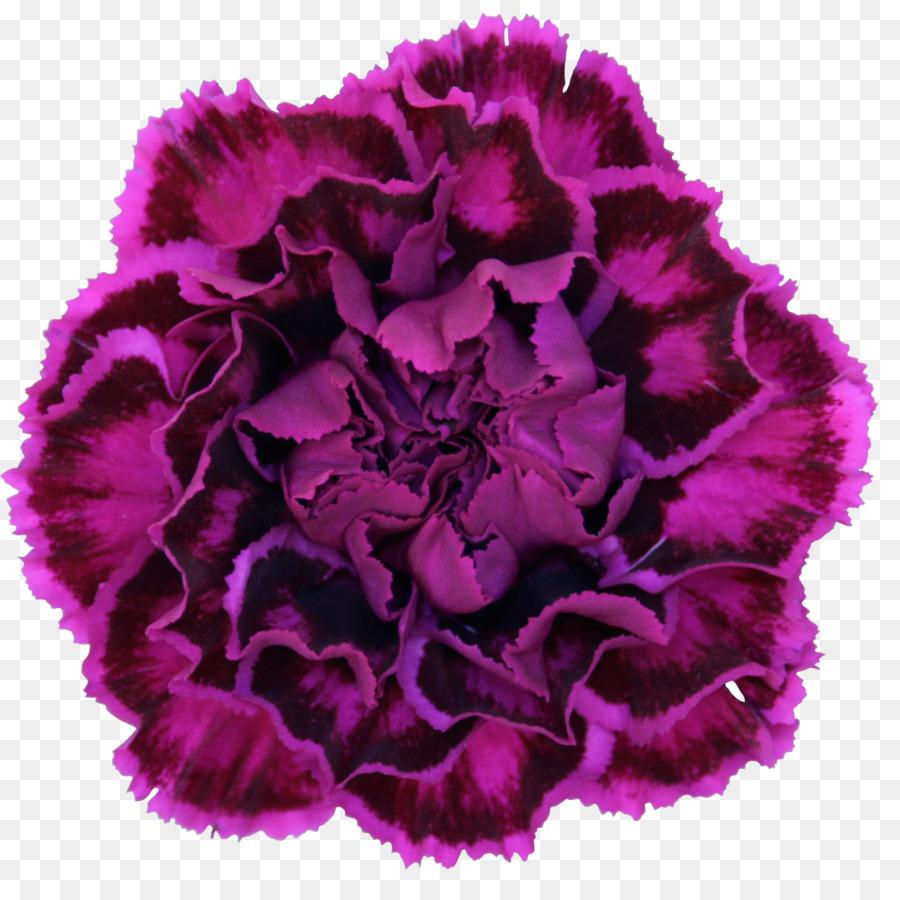 Anyelir Bunga Ungu Gambar Png