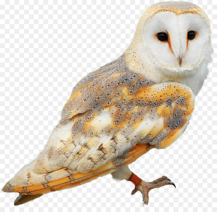 Burung Hantu Burung Serak Jawa Gambar Png