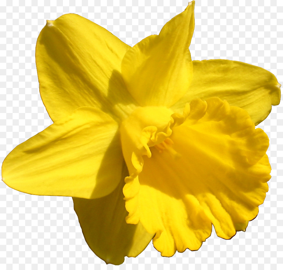 Daffodil Bunga Tanaman Hias Gambar Png