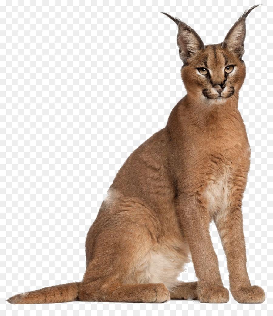 Unduh 100+  Gambar Kucing Caracal Terbaru HD