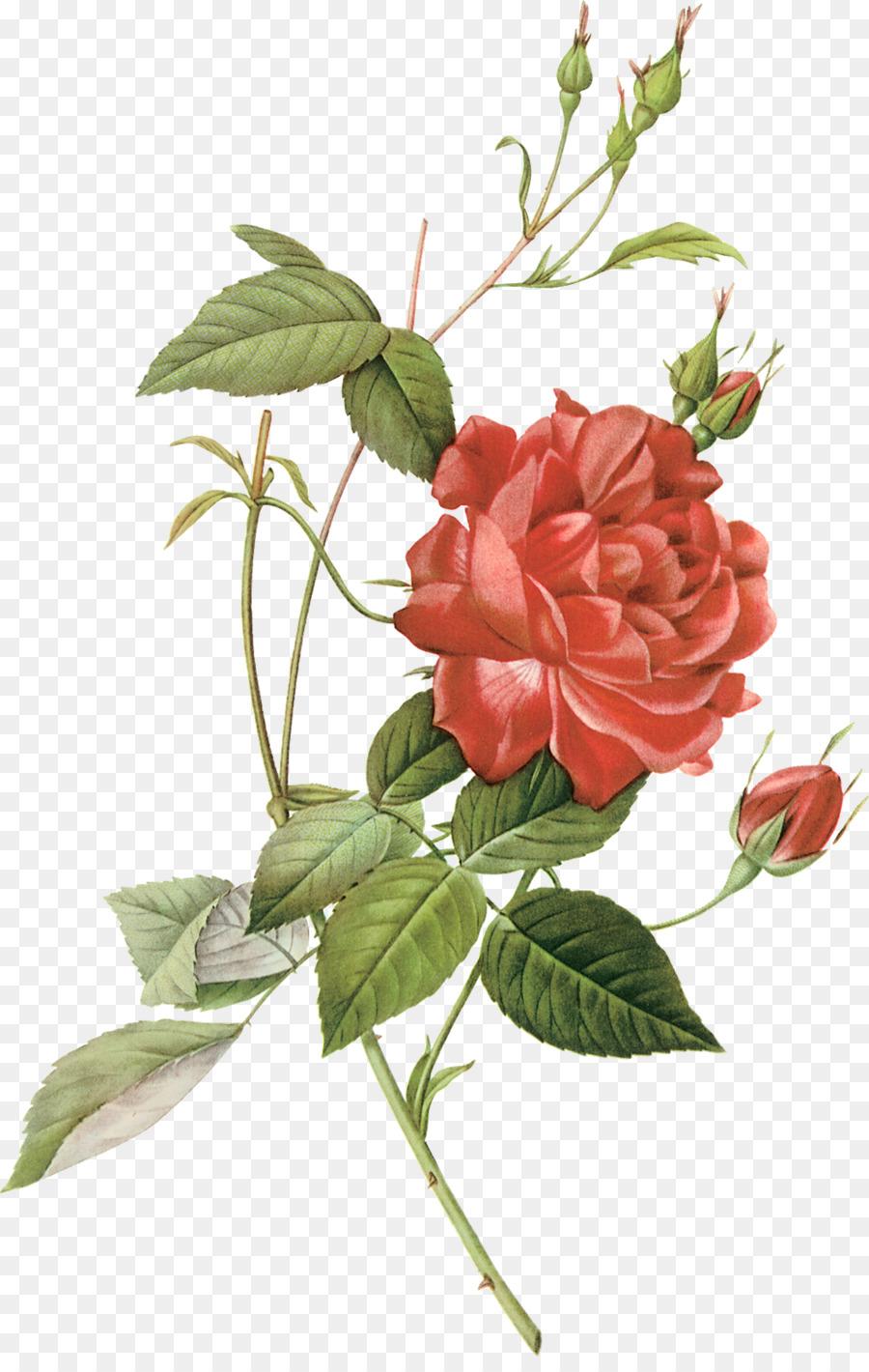 Gambar Mawar Centifolia Merah Gambar Png