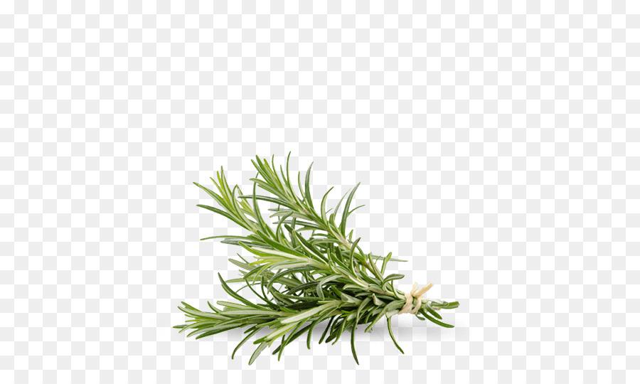 Tanaman Aromatik Rosemary Daun Gambar Png