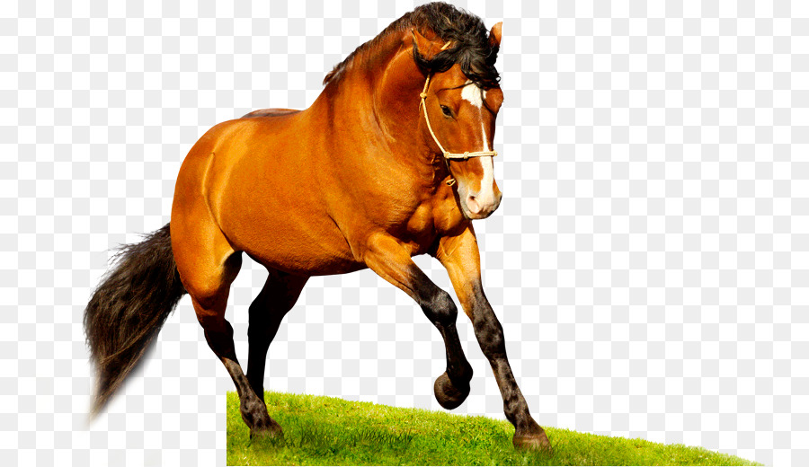 Desktop Wallpaper American Quarter Horse Mustang Gambar Png