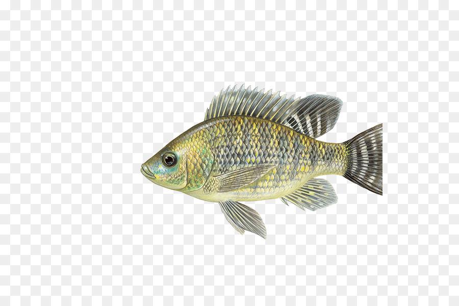 Ikan Nila Ikan Mujair Aureus Ikan Gambar Png