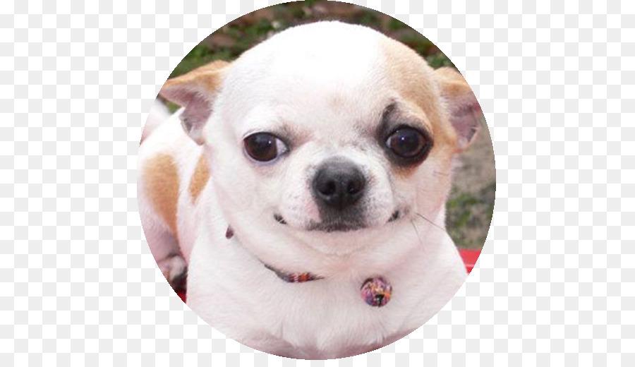Chihuahua Anjing Shih Tzu Gambar Png