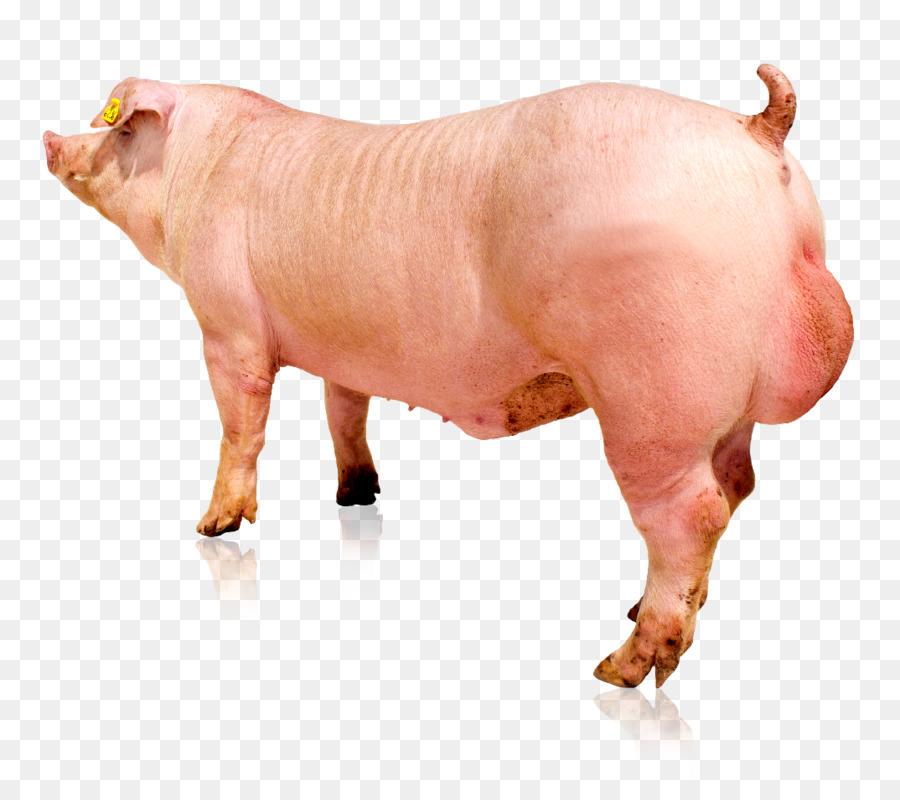 84 Gambar Babi Duroc Paling Keren