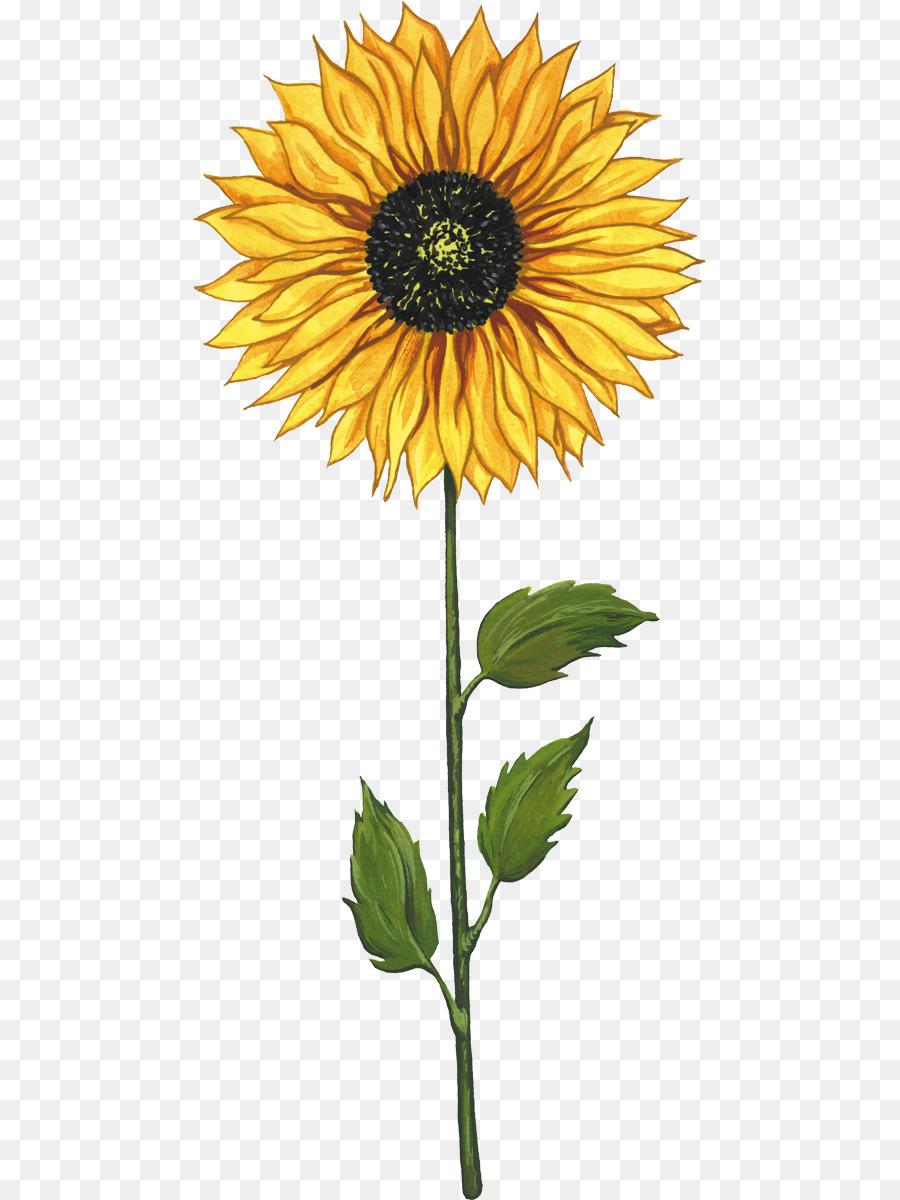 Umum Bunga Matahari Biji Bunga Matahari Kartun Gambar Png