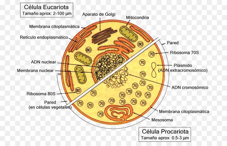 Sel Eukariotik Sel Prokariotik Organisme Uniseluler Gambar Png