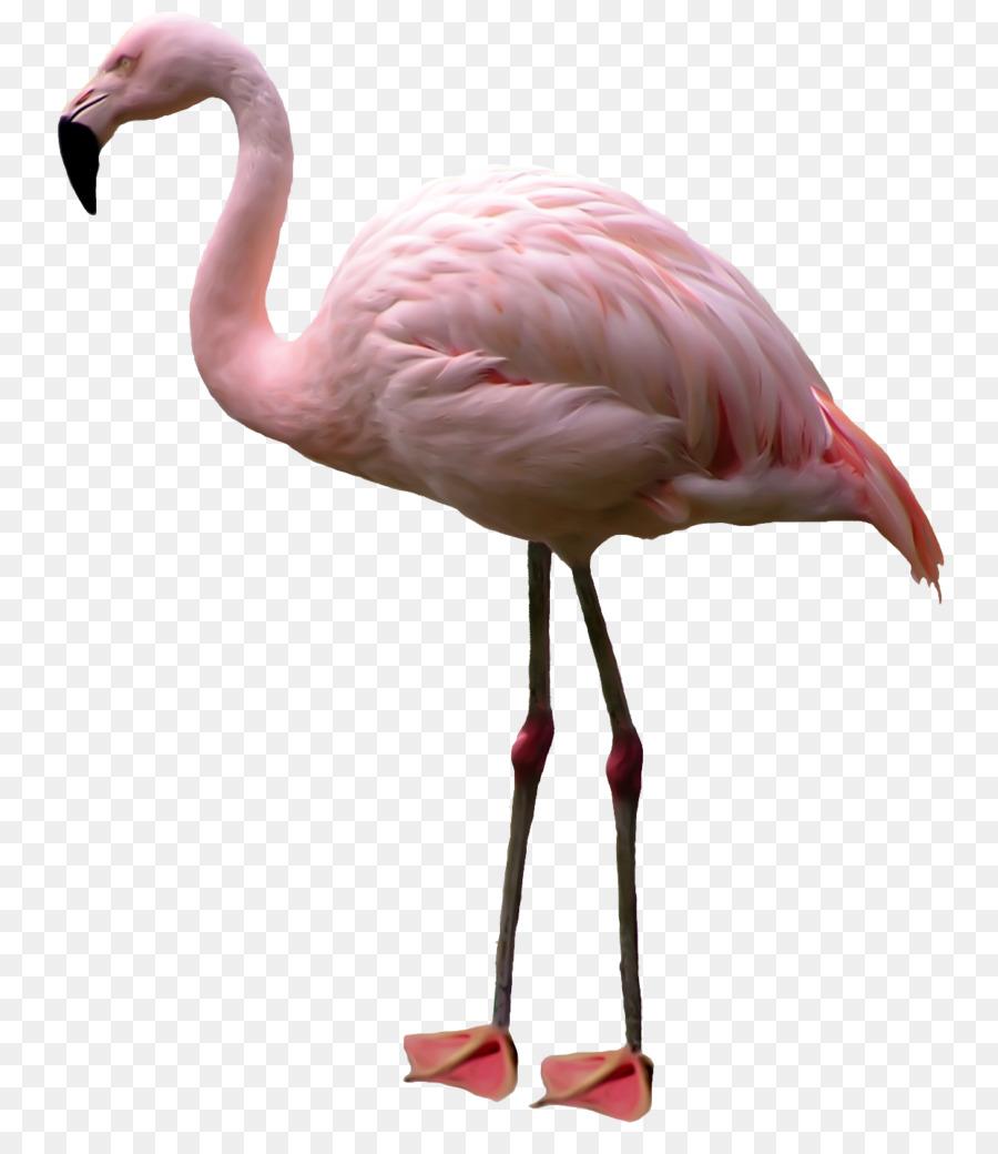 Flamingo Burung Desktop Wallpaper Gambar Png