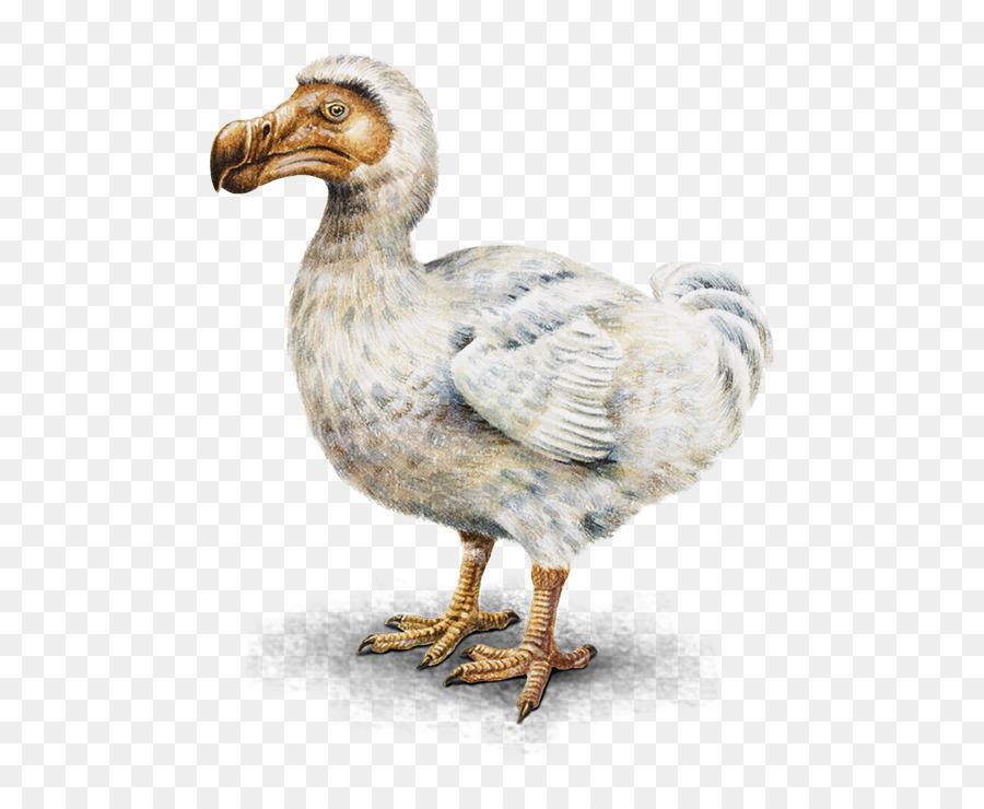 Dodo Burung Mauritius Gambar Png