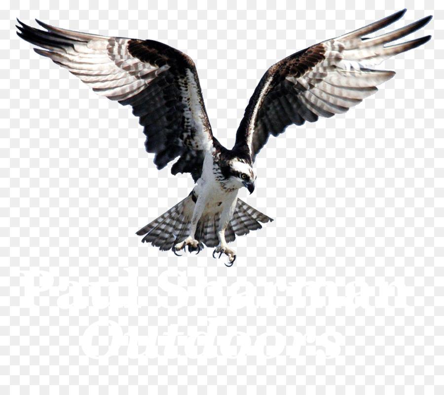 Burung Osprey Burung Pemangsa Gambar Png