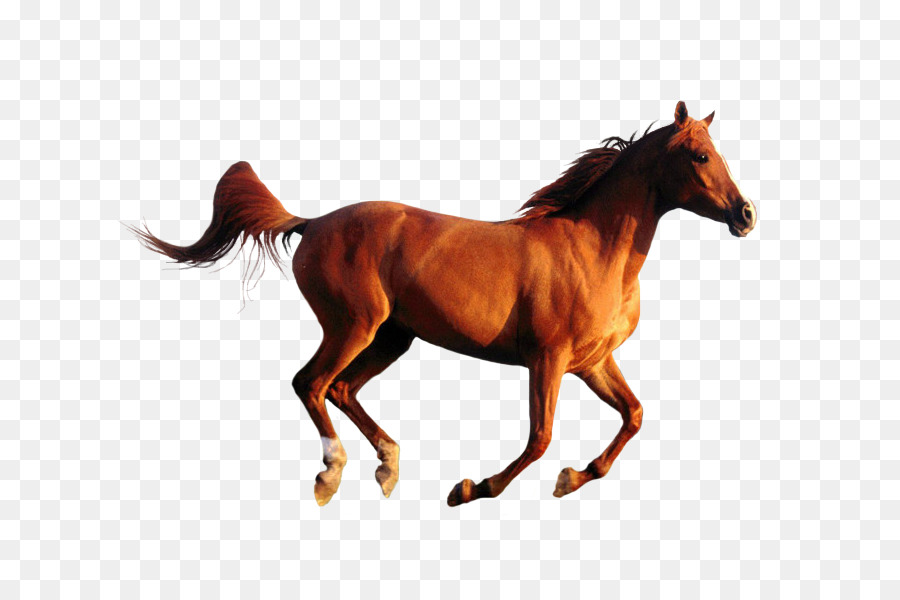 American Quarter Horse Kuda Arab Desktop Wallpaper Gambar Png