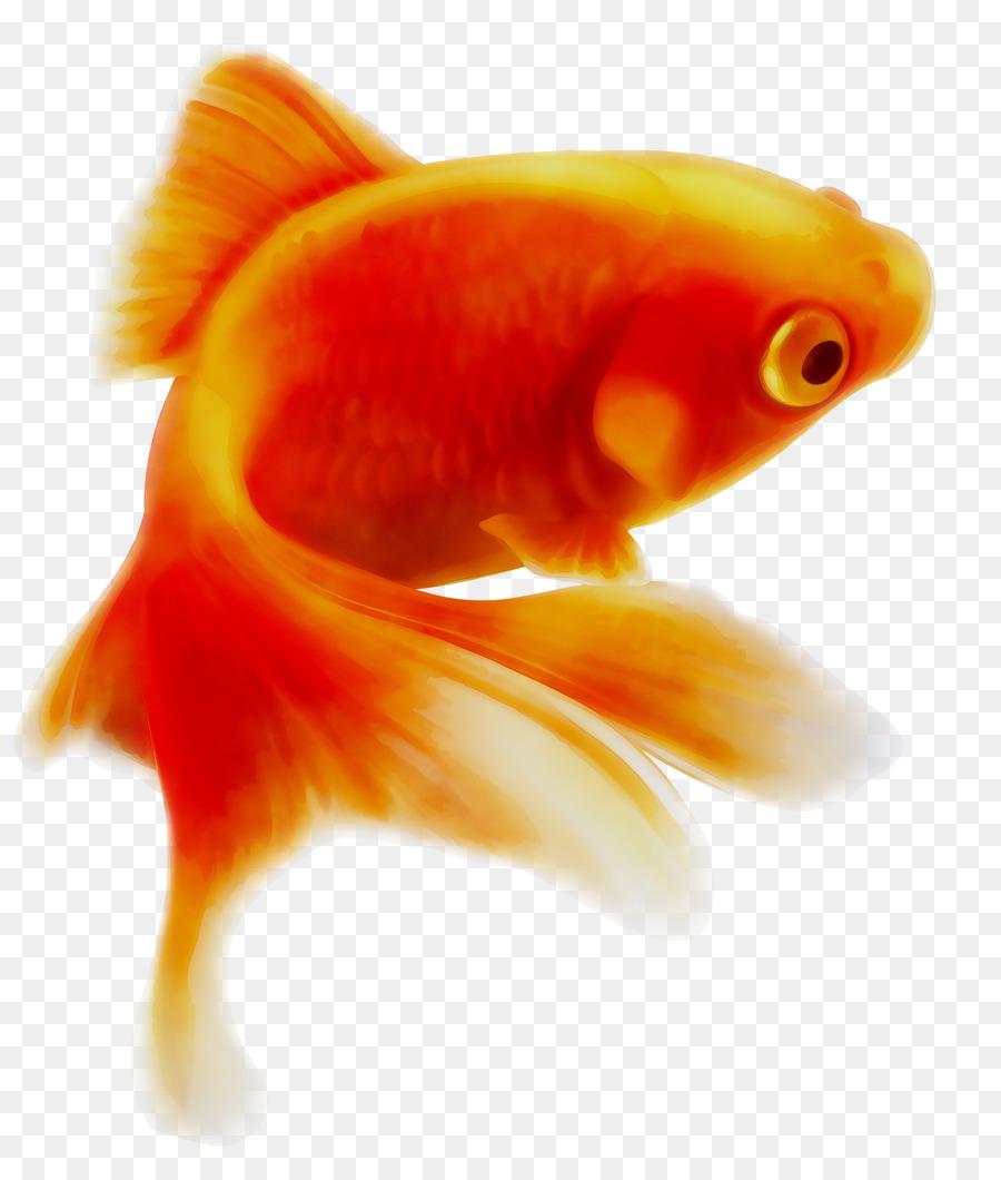 Download 89 Gambar Ikan Mas Terbaik Gratis