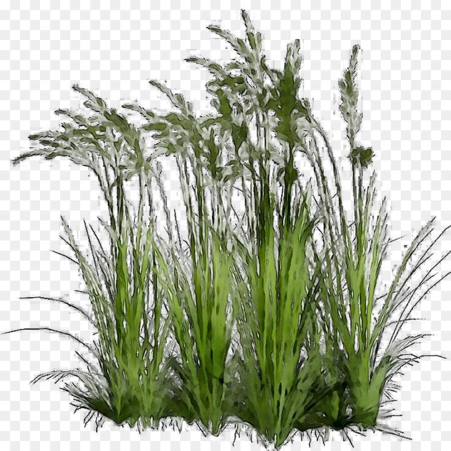 Rumput Manis Tanaman Rumput Hias Gambar Png